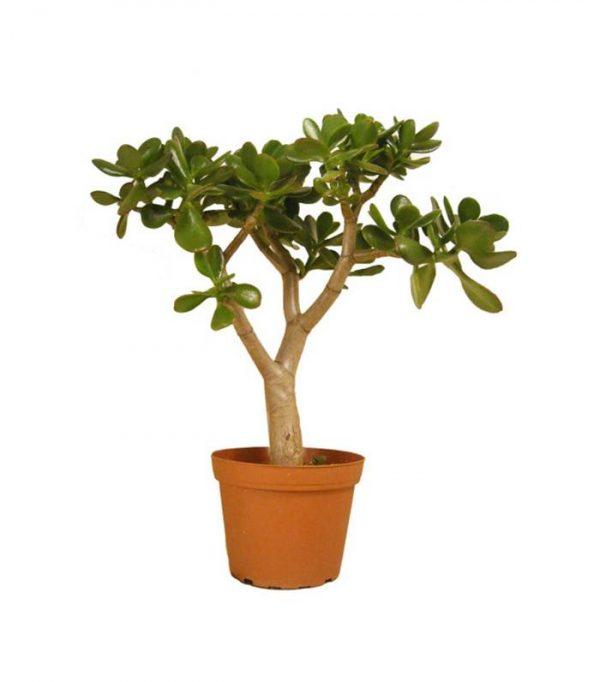 گیاهان فنگ شویی