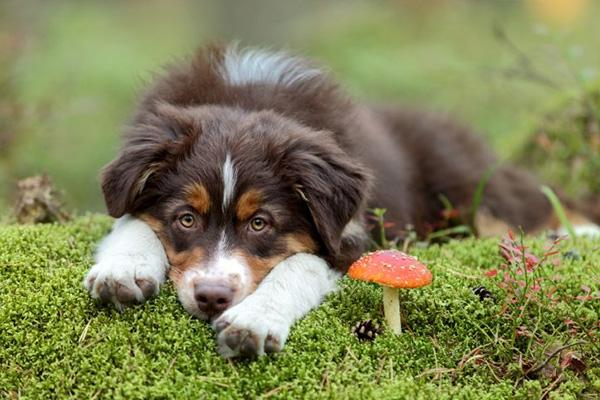 آیا سگ ها می توانند قارچ بخورند؟
