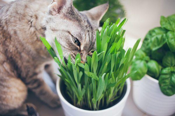 علف گربه -0