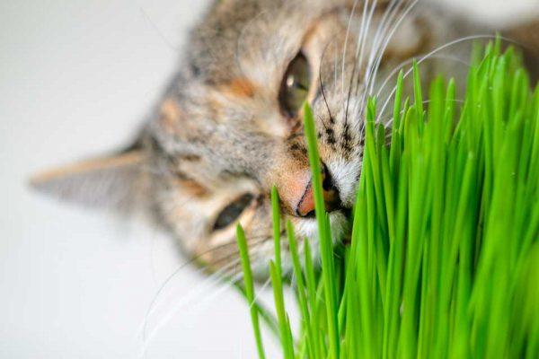 علف گربه -1