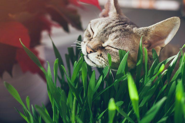 علف گربه؛ طریقه کاشت و نگهداری گیاه علف گربه