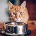 غذای آبدار برای گربه ها + میزان کالری مورد نیاز آنها