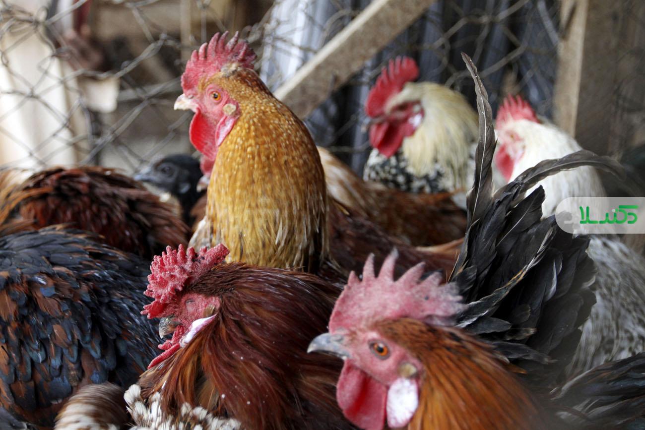 کشف آنفولانزای پرندگان در یک مرغداری