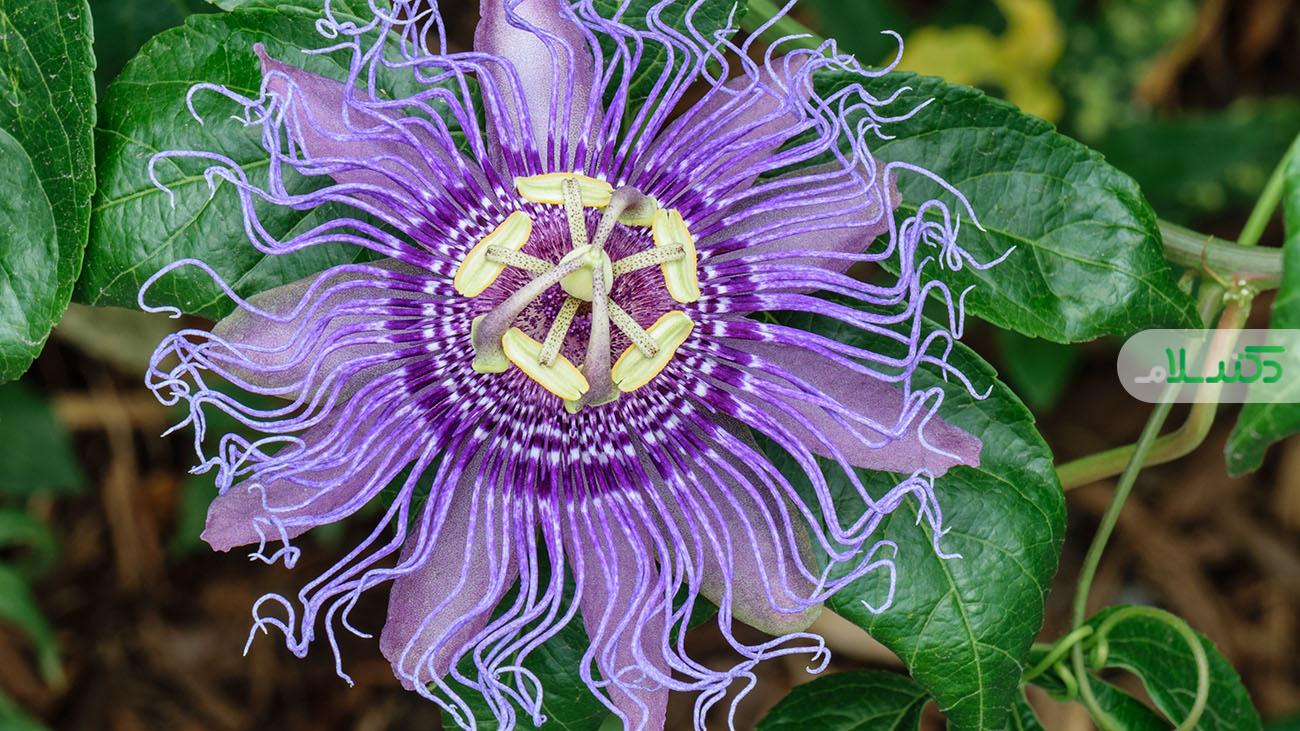 خواص گل ساعتی/ ازدرماناضطراب تا کاهش علائم یائسگی