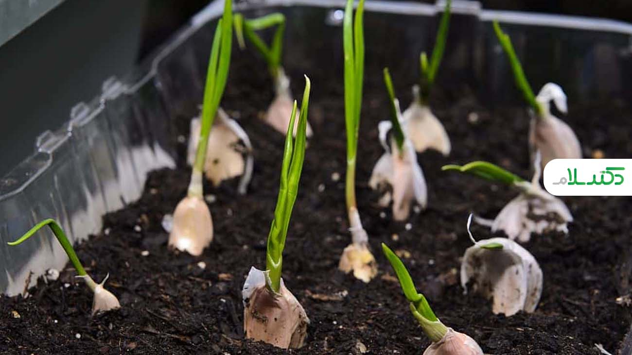 روش کاشت خانگی بذر سبزیجات در خانه + ویدئو